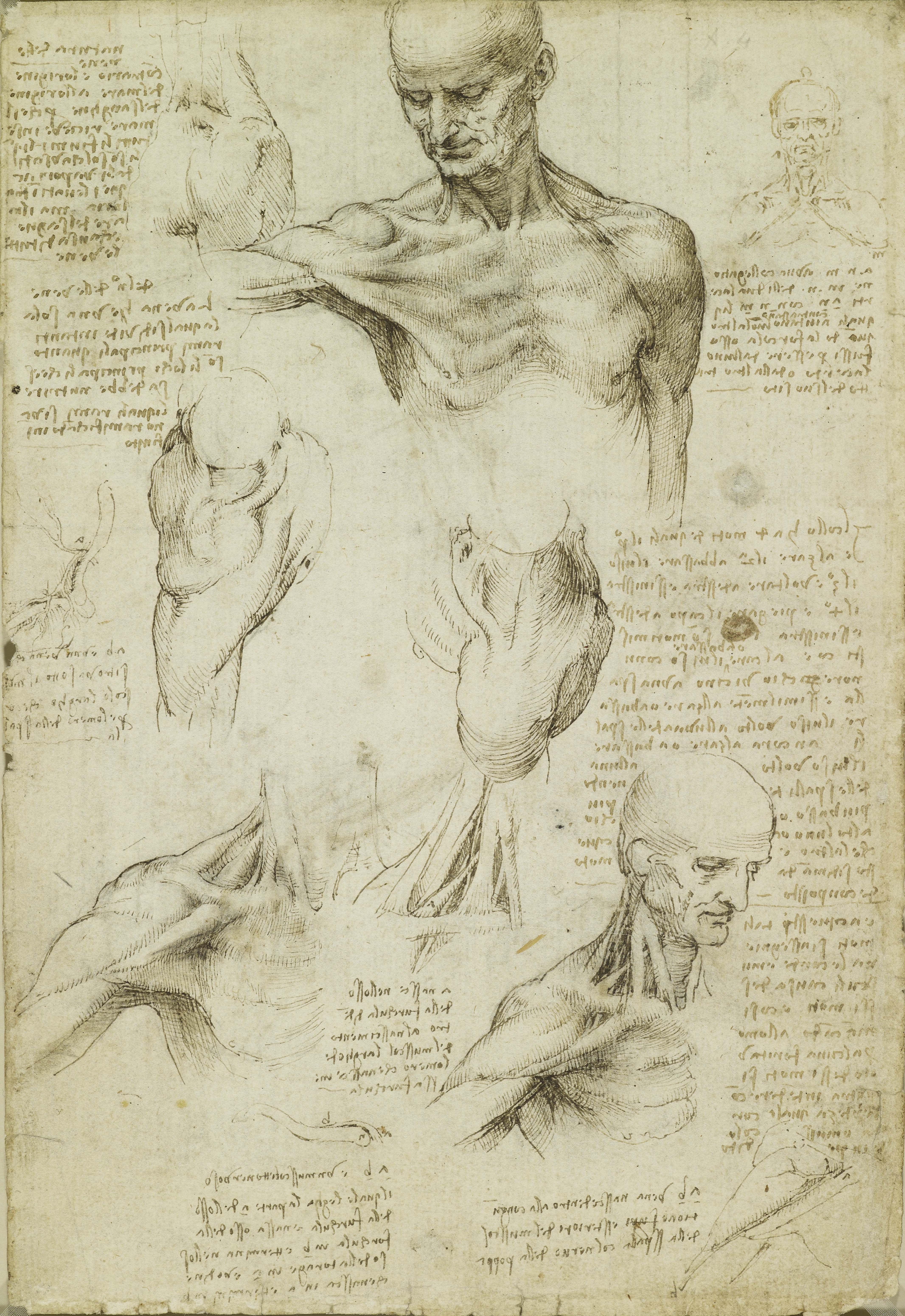 Leonardo da Vinci, The Anatomy of the Shpulder and Neck, c. 1510-11. Pen and brown ink with wash over paper, 29.2 x 19.8 cm. Royal Collection Trust/ Her Majesty Queen Elisabeth II 2019