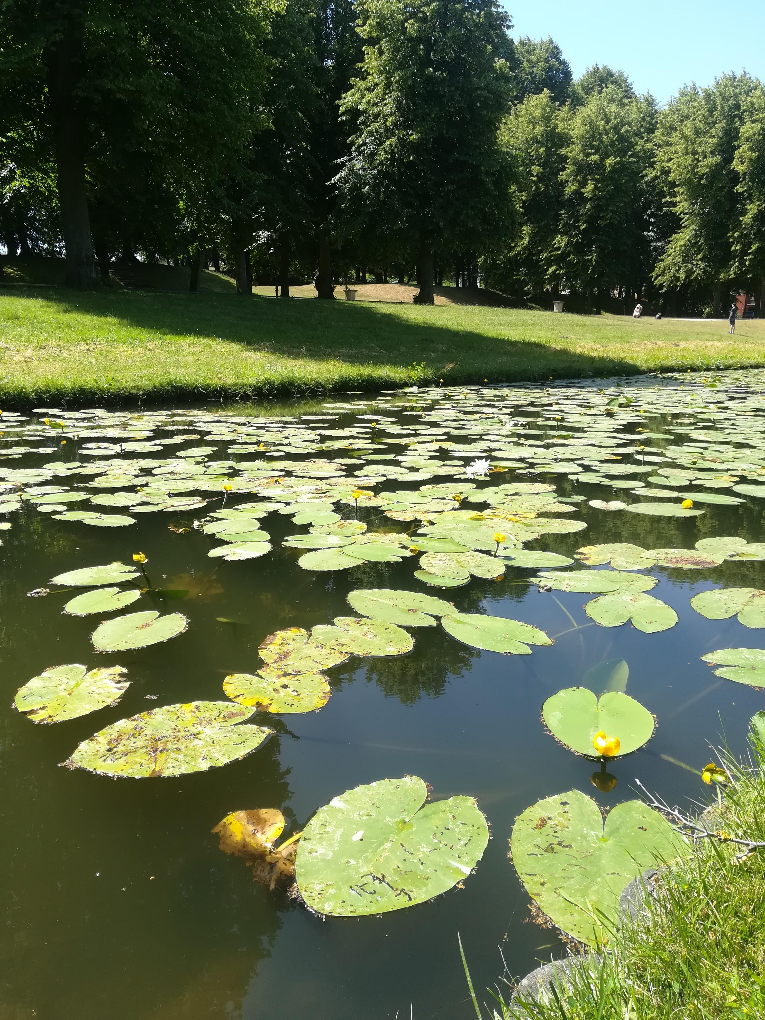 Stagno con foglie di ninfee a Schwerin
